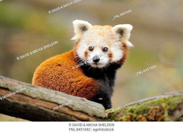 Red panda (Ailurus fulgens) in a tree