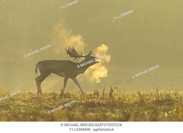 Belling Fallow Deer (Cervus dama) at Rutting Season, Hesse, Germany, Europe