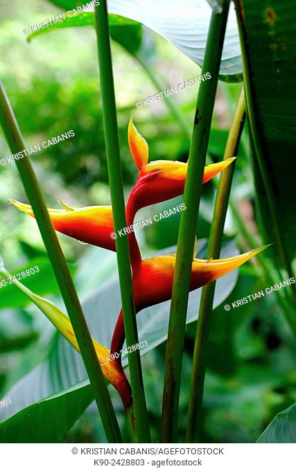 Tropical flower in the jungle of Morne Trois Piton National Park, Dominica, Windward Islands, Lesser Antilles, Eastern Caribbean Islands, West Indies, Americas