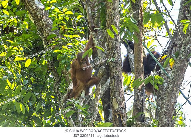 A Mother and Baby Orangutan ( Pongo pygmaeus ) Hanging on a Rope in Semengoh Rehabilitation Center, Kuching, Sarawak, Borneo, Malaysia