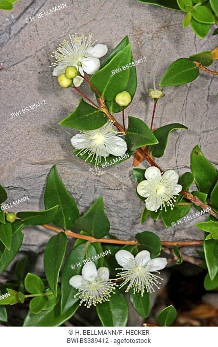 myrtle (Myrtus communis), blooming branches