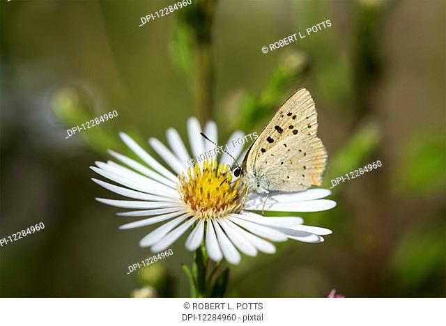 Copper Butterfly (Lycaenidae) seeks nectar from aster blossoms; Astoria, Oregon, United States of America