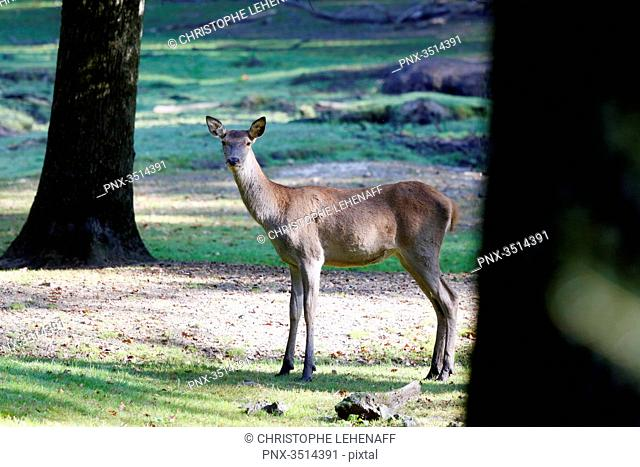 France, Burgundy, Yonne. Area of Saint Fargeau and Boutissaint. Young stag (fawn) in the undergrowth