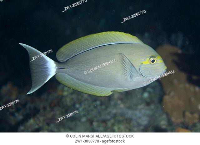 Yellowmask Surgeon (Acanthurus mata, Acanthuridae family), Night dive, Pyramids dive site, Amed, east Bali, Indonesia