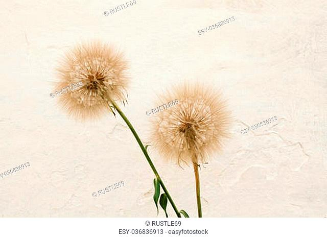 Abstract dandelion flower background, extreme close up with soft focus, beautiful nature details