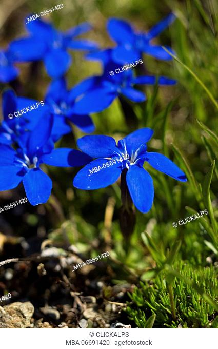 Mountain blue flowers gentians