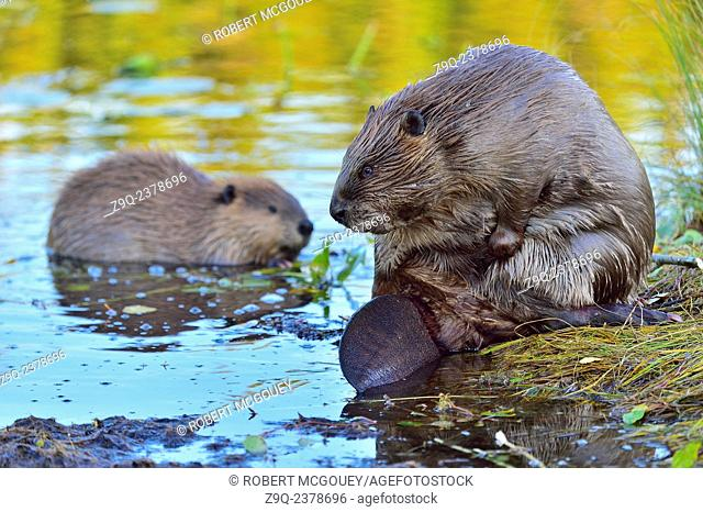 A mother beaver Castor canadenis, and her baby at the edge of the beaver pond in the warm tone natural light in Hinton Alberta Canada