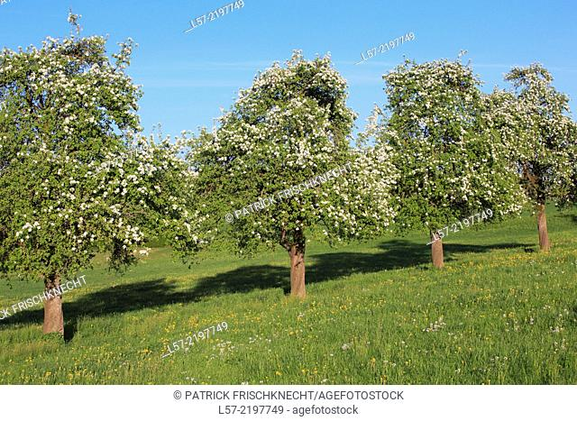 row of blooming pear trees, spring, Switzerland