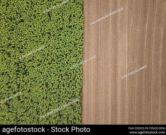 25 September 2020, Baden-Wuerttemberg, Obereschach: A blooming sunflower field near Obereschach, taken with a drone. Photo: Silas Stein/dpa