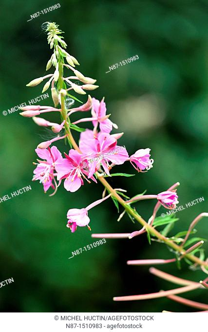 Fireweed in the ear or bay of St. Anthony or Chamerion augustifolium or wicker flower Perennial of the family Onagraceae