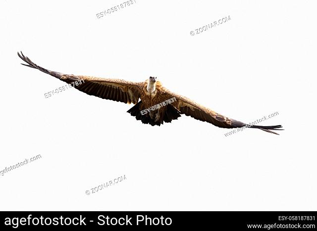 Griffon vulture, gyps fulvus, flying with spread wings isolated on white background. Front view of large bird of prey approaching mid air outdoors cut out on...