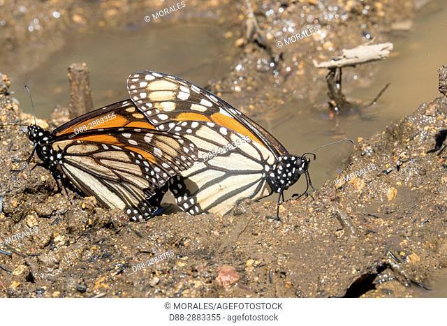 Central America, Mexico, State of Michoacan, Angangueo, Reserve of the Biosfera Monarca El Rosario, Monarch (Danaus plexippus) butterflies gathering to drink...