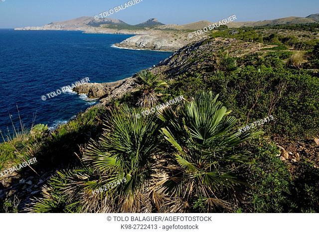 Pamito, Chamaerops humilis, es Matzoc ,Artá ,comarca del Levante, Majorca, Balearic Islands, Spain
