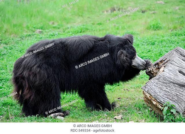 Sloth Bear / Melursus ursinus, Ursus ursinus