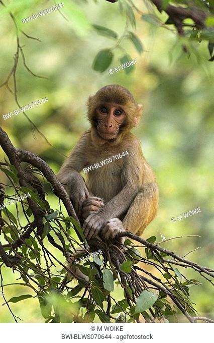 rhesus monkey, rhesus macacque Macaca mulatta, portrait, sitting, India, Keoladeo Ghana Nationalpark