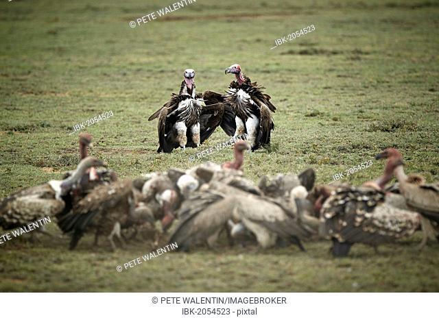 Lappet-faced Vultures (Aegypius tracheliotus, Torgos tracheliotus), Serengeti, Tanzania, Africa