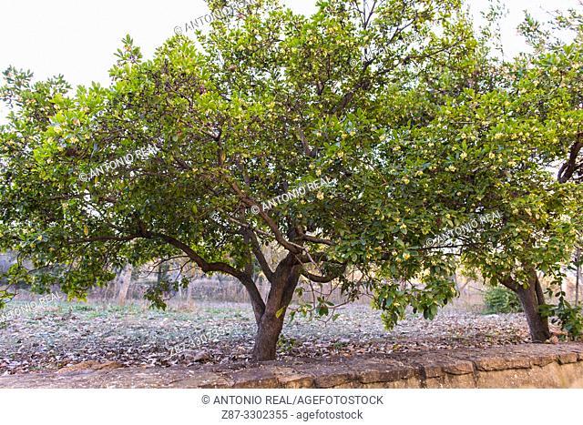 Strawberry tree (Arbutus unedo), Almansa, Albacete province, Spain