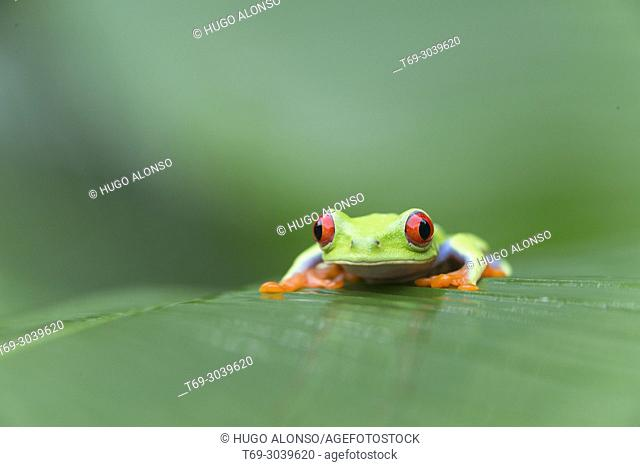 Red-eyed tree frog, Agalychnis callidryas, climbing on a leaf. Costa Rica