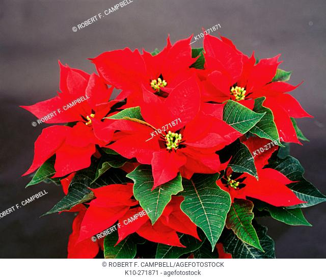 Poinsettias (Euphorbia pulcherrima) in winter, Christmas