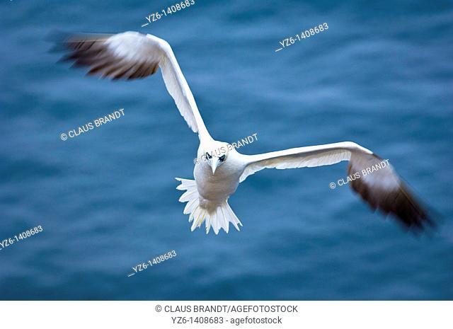 Northern Gannet Sula bassana in flight  Helgoland, Germany, North Sea