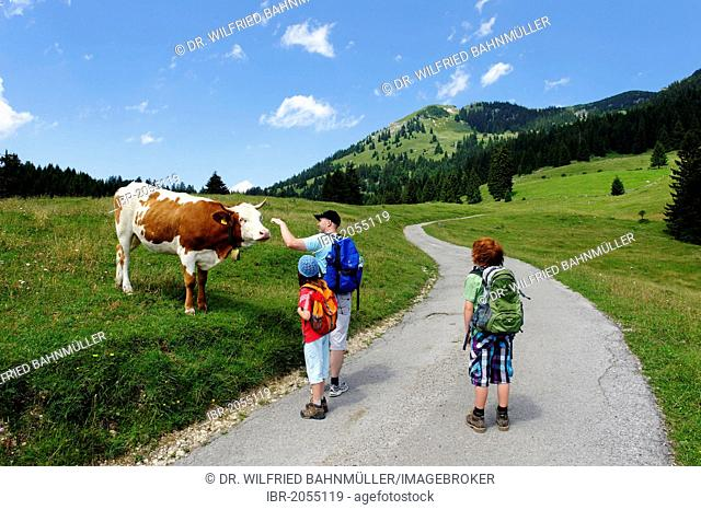 Hikers with cow on mountain pasture en route to Mt Wildalpjoch, Sudelfeld region, Upper Bavaria, Bavaria, Germany, Europe
