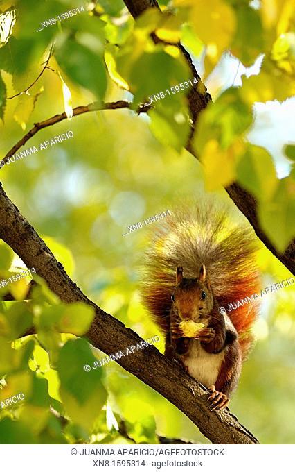 Squirrel in Retiro Park, Madrid
