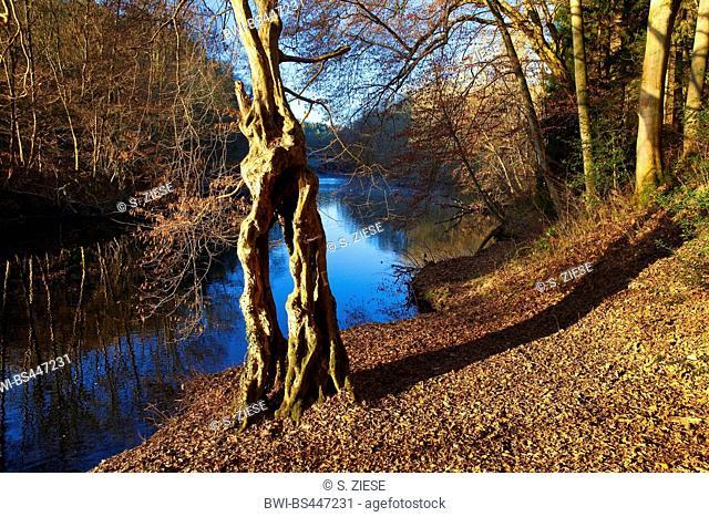 weird tree at river Wupper in autumn, Germany, North Rhine-Westphalia, Bergisches Land, Remscheid