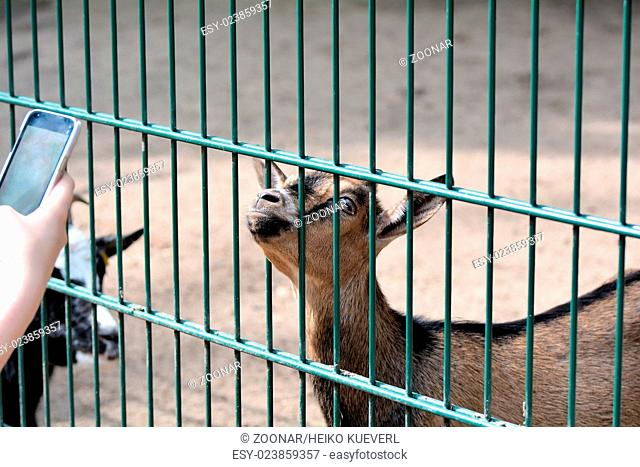 a goat in a zoo is photographed with a cell phone