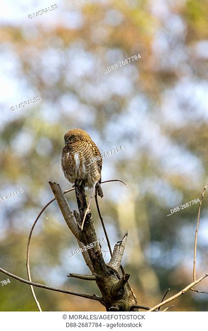South east Asia, India,Tripura state,Asian barred owlet (Glaucidium cuculoides),perched on a tree