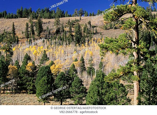 Autumn aspen grove with ponderosa pine (Pinus ponderosa) above Bull Prairie, Fremont National Forest, Oregon