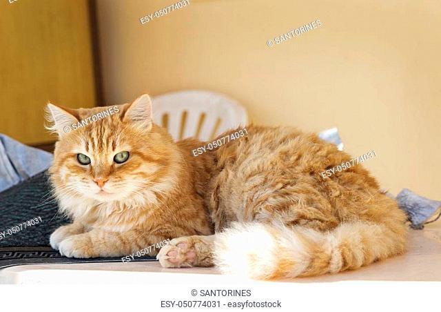 Big, beautiful, orange cat with green eyes