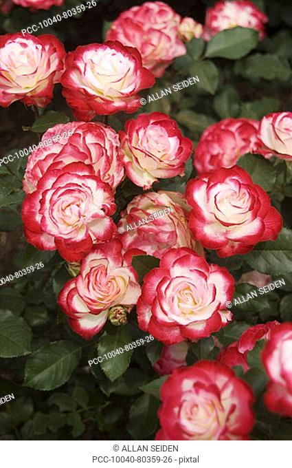 Beautiful red and white roses growing in a garden