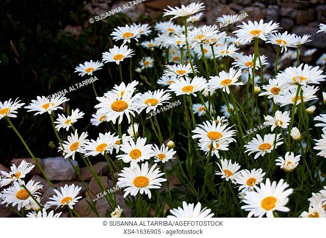 Giant daisies. Shasta Daisy Leucanthemum x superbum, Pinos, Lleida, Catalonia, Spain