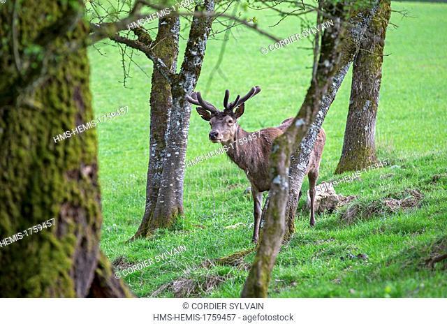 France, Haute Saone, Private park, Red Deer (Cervus elaphus), in velvet, antlers are growing