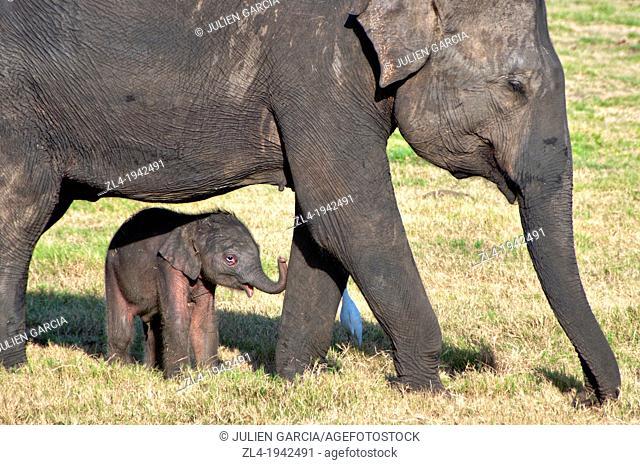 Three day old elephant calf. Sri Lanka, Minneriya national park