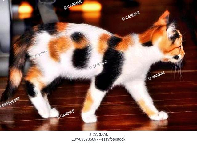 Beautiful / pretty / gorgeous young female calico cat / kitten walking on wooden floor