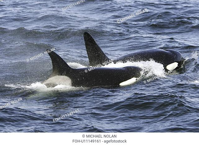 A pod of 5 Orcas Orcinus orca encountered off Gardner Point on the south end of Admiralty Island, Southeast Alaska. The pod consisted of two adult males