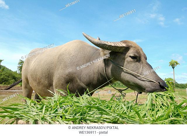 Water buffalo or domestic Asian water buffalo Bubalus bubalis eating grass, Loei province, Thailand