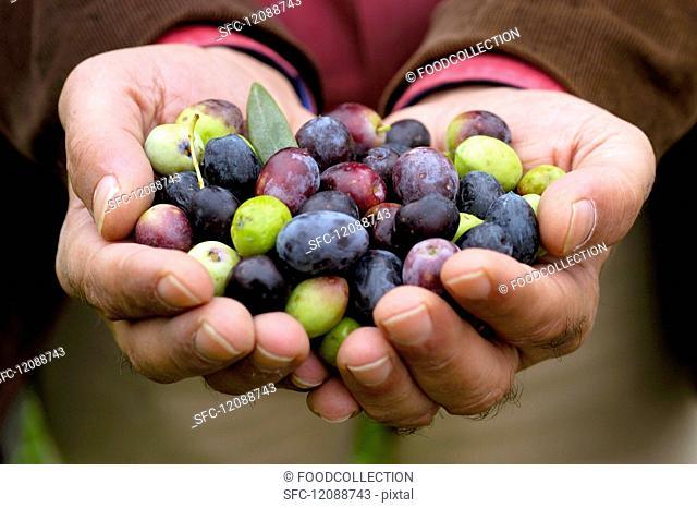 Hands presenting freshly harvested olives
