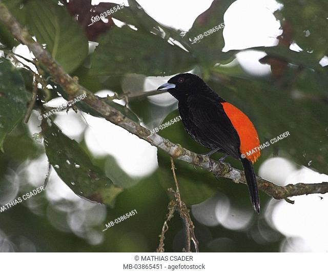 Cherrie's Tanager, males, Ramphocelus costaricensis, branch, sit, Costa Rica, Puntarenas, can Brazos rain-forest jungle, nature, wildlife, wilderness, habitat