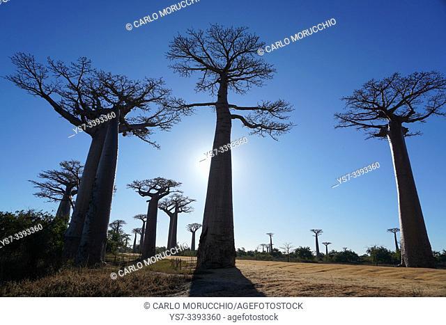 Allée des Baobabs, Avenue of the Baobabs, Morondava, Menabe region, Western Madagascar