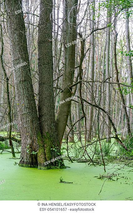 Trees standing in water full of duckweed (lemna minor) in a german swamp area - Briesetal north of Berlin, Germany