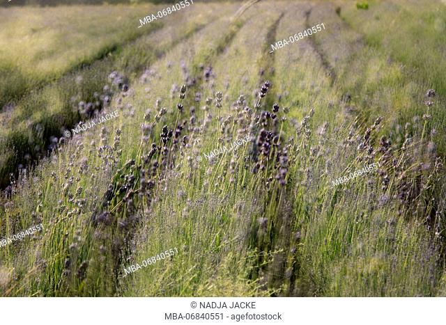Lavender field in Germany in East Westphalia, organic cultivation, organic cultivation for winning lavender oil, lavender, not fully blossomed, in June