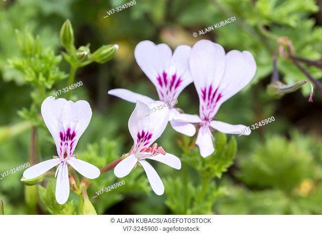 Pelargonium scabroide