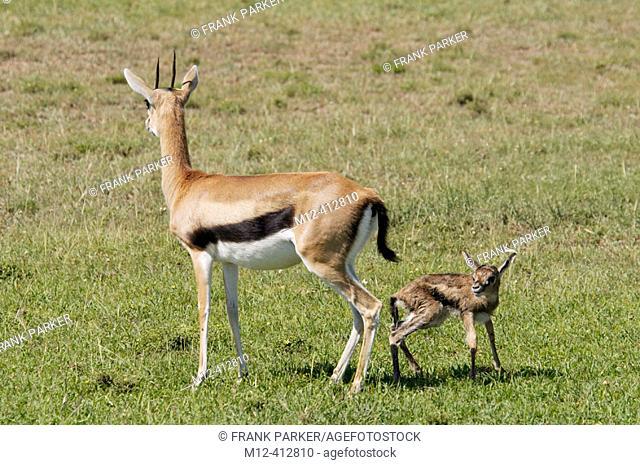 Baby Thompson Gazelles first steps