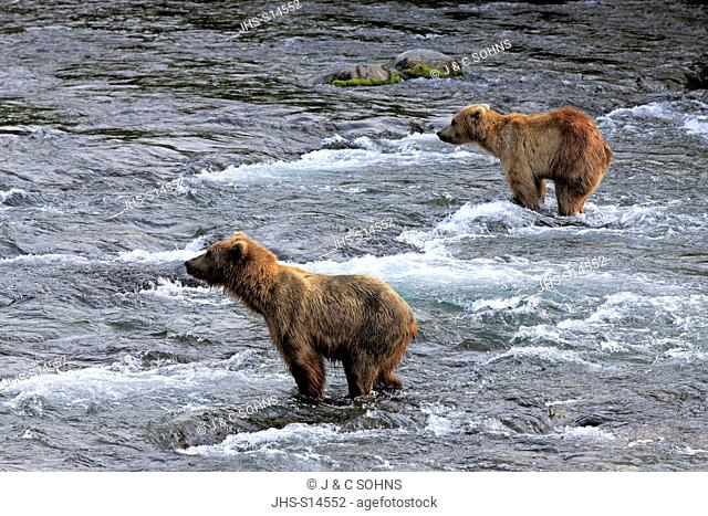 Grizzly Bear, (Ursus arctos horribilis), two adults in water searching for food, Brookes River, Katmai Nationalpark, Alaska, USA, North America