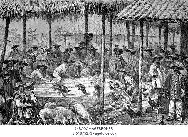 Cock fight in South America, historical illustration, circa 1886