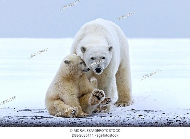 United States , Alaska , Arctic National Wildlife Refuge , Kaktovik , Polar Bear( Ursus maritimus ) , mother with one cub from the year along a barrier island...