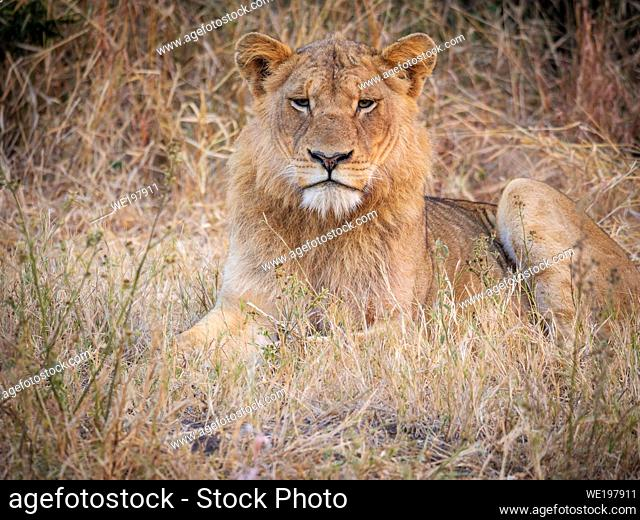 Gorgeous young male lion (Panthera leo) in the lowveld bush. Mpumalanga. South Africa
