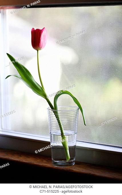 Tulip flower in glass of water on window sill